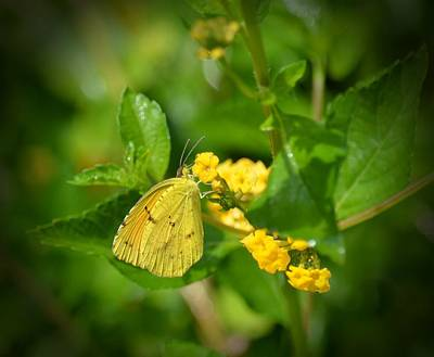 Photograph - Clouded Sulphur Butterfly by Maria Urso