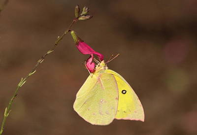 Clouded Sulphur Butterfly On Pink Wildflower Art Print by Sheila Brown