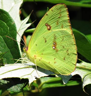 Photograph - Clouded Sulphur by Joshua Bales