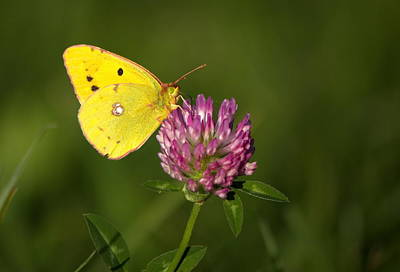 Photograph - Clouded Yellow Butterfly by Elenarts - Elena Duvernay photo