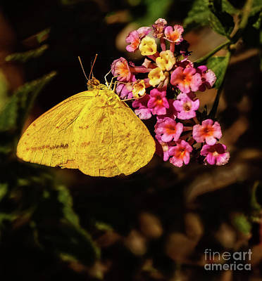 Photograph - Cloudless Giant Sulfur Butterfly by Robert Bales