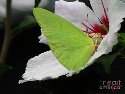 Photograph - Cloudless Giant Sulphur Butterfly  by Donna Brown