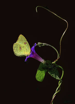 Photograph - Cloudless Sulphur Butterfly And Morning Glory by HH Photography of Florida