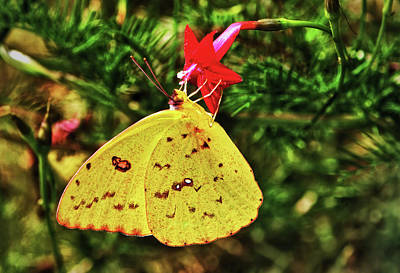 Photograph - Cloudless Sulphur Butterfly On A Cypress Vine 003 by George Bostian