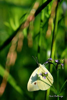 Photograph - Cloudless Sulphur Shadow Butterfly by Reid Callaway