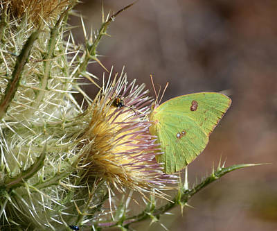 Photograph - Cloudless Suphur Butterfly On Thistle by rd Erickson