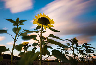 Clouds And Sunflower In Motion Art Print