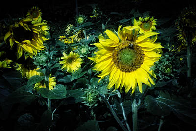 Cloudy Day In A Sunflower Field Print by Greg Mimbs