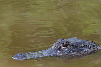 Photograph - Cloudy Eyes Alligator by Christopher L Thomley