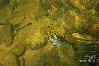 Clouser Smallmouth Print by Randy Bodkins