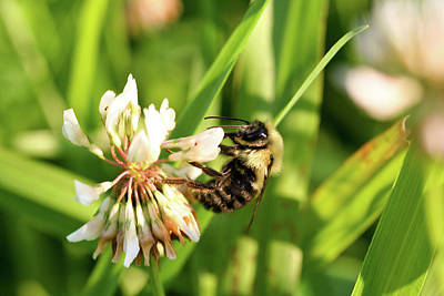Photograph - Clover And Bee by Colleen Keller Breuning