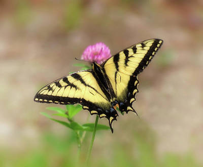 Photograph - Clover And Swallowtail - Butterfly by MTBobbins Photography