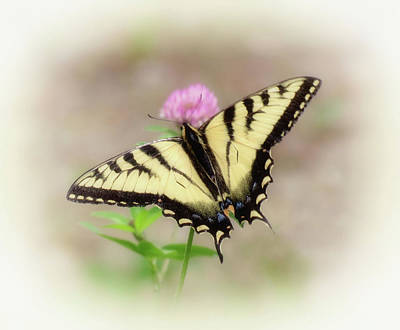 Photograph - Clover And Swallowtail - Butterfly - Vignette by MTBobbins Photography
