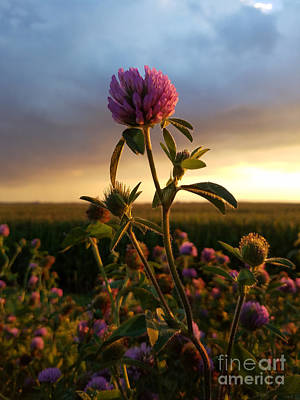 Photograph - Clover At Sunset by Viviana Nadowski