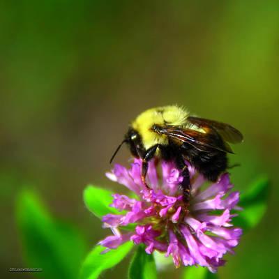 Photograph - Clover Bee by LeeAnn McLaneGoetz McLaneGoetzStudioLLCcom