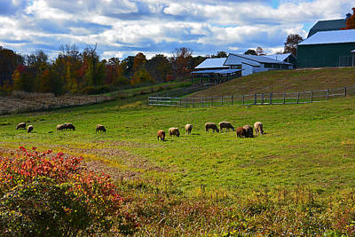 Photograph - Clover Hill Farm Sheep by Mike Martin