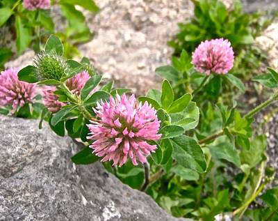 Clover On The Rocks Art Print by Stephanie Moore