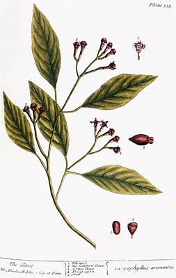 Cloves, 1735 Print by Granger