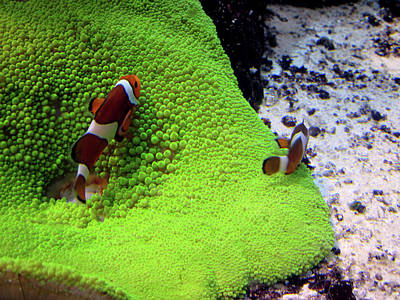 Clown Fish Photograph - Clowing Around by Paul Slebodnick