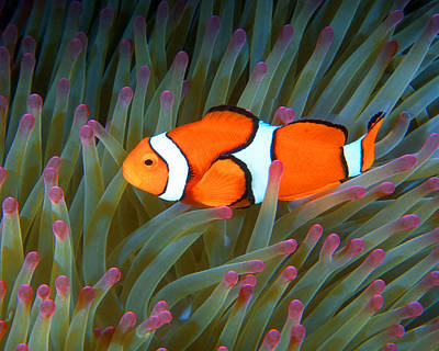 Photograph - Clownfish In Anemone, Great Barrier Reef 1 by Pauline Walsh Jacobson