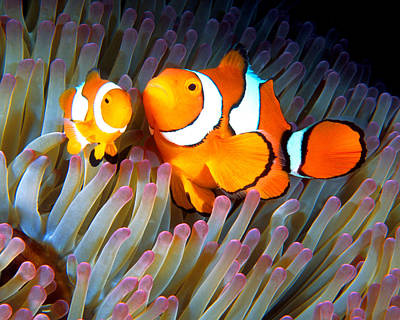 Photograph - Clownfish In Anemone, Great Barrier Reef 2 by Pauline Walsh Jacobson