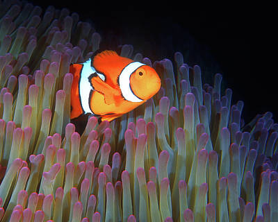 Photograph - Clownfish In Anemone, Great Barrier Reef 3 by Pauline Walsh Jacobson