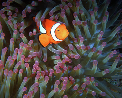Photograph - Clownfish In Anemone, Great Barrier Reef 6 by Pauline Walsh Jacobson