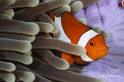 Pomacentridae Photograph - Clown Anemonefish, Indonesia by Todd Winner