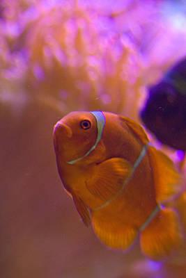 Clown Fish Photograph - Clown Fish by Carl Jackson