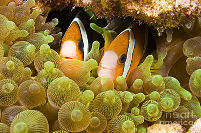 Tendrils Photograph - Clown Fish by Dave Fleetham - Printscapes