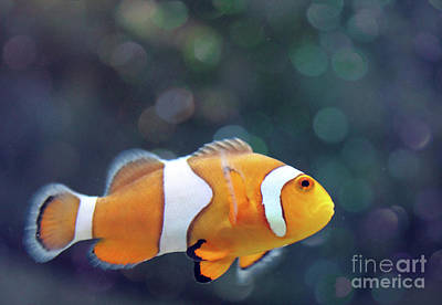Photograph - Clown Fish In Bokeh  by Nina Silver
