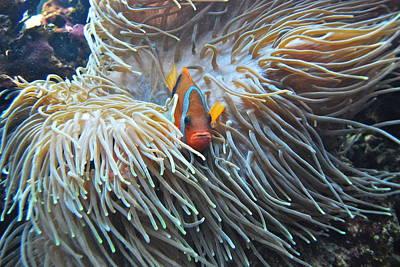 Clown Fish Photograph - Clown Fish by Michael Peychich