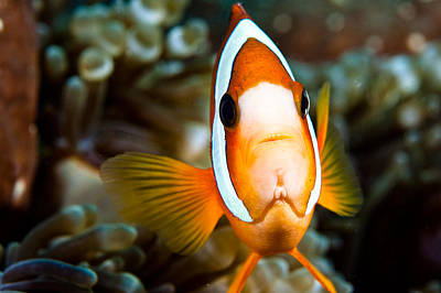 Clown Fish Photograph - Clown Fish With An Attitude. by Larry Gohl