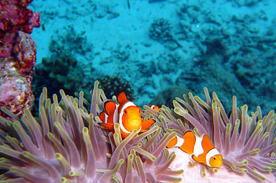 Undersea Photograph - Clown Fishes by Takau99