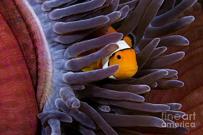Tendrils Photograph - Clownfish And Anemone by Dave Fleetham - Printscapes