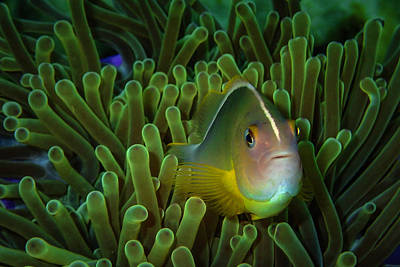 Photograph - Clownfish Close Up by Scott Cunningham