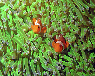 Photograph - Clownfish In Anemone, Indonesia 4 by Pauline Walsh Jacobson