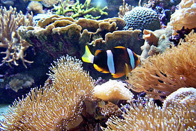 Photograph - Clownfish In Anemone by Jenness Asby