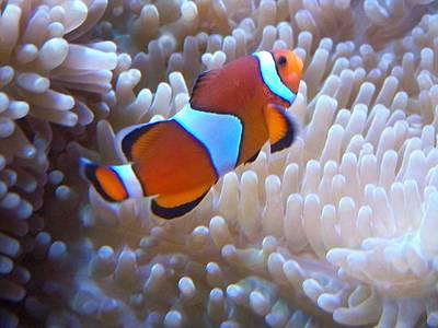 Clown Fish Photograph - Clownin Around by Amanda Vouglas