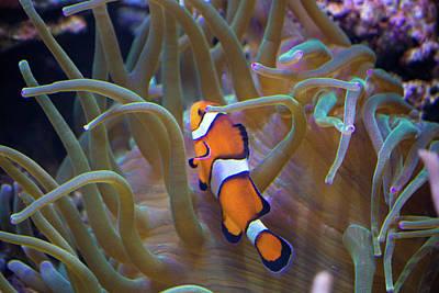 Clown Fish Photograph - Clowning Around by Taya Johnston