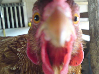 Photograph - Clucking Close by Lynda Dawson-Youngclaus