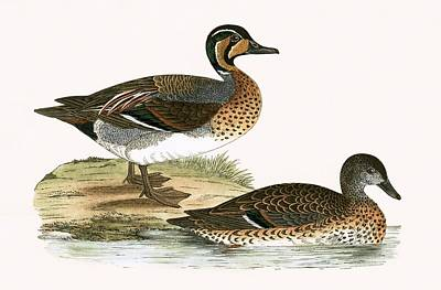 Duck Drawing - Clucking Teal by English School
