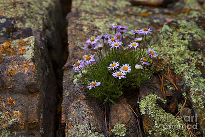 Photograph - Clump Of Asters by Barbara Schultheis