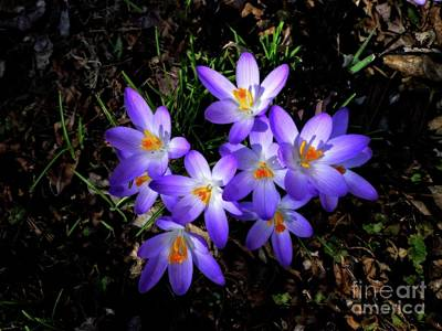 Photograph - Cluster Of Croci by Dee Flouton