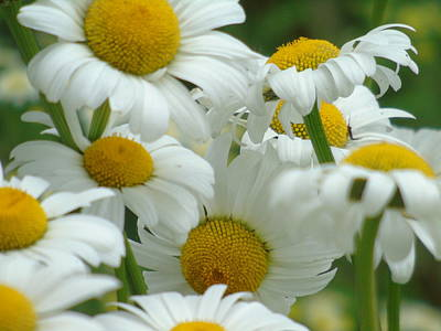 Photograph - Cluster Of Daisies by Barbara St Jean