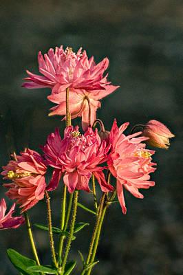 Cluster Of Double Columbine Blossoms Art Print by Douglas Barnett