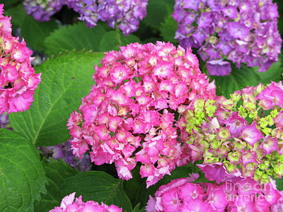 Photograph - Cluster Of Hydrangeas by Mini Arora