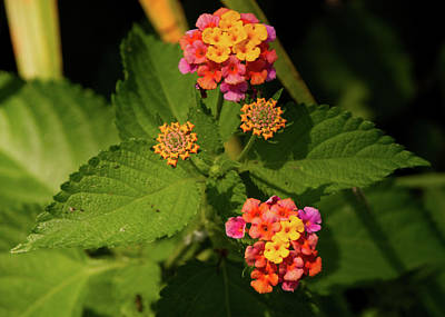 Photograph - Cluster Of Lantana Flowers by Vincent Billotto