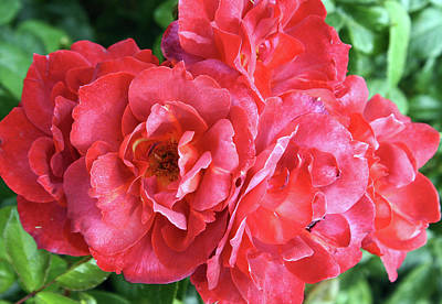 Photograph - Cluster Of Red Roses by Ellen Tully