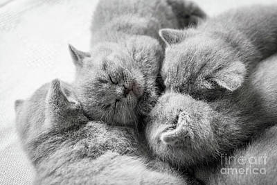 Photograph - Cluster Of Sleeping Cats. British Shorthair. by Michal Bednarek